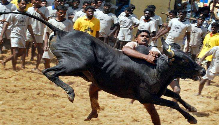Supreme Court rejects plea for judgement on Jallikattu before Pongal