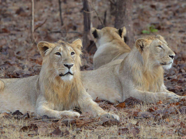 Gir lion death toll reaches 23: Supreme Court, Gujarat High Court express worry