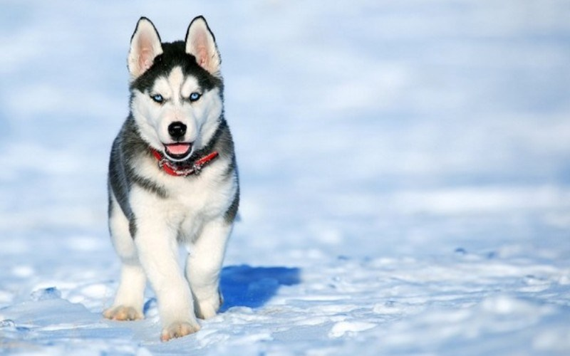 Here's why huskies have blue eyes